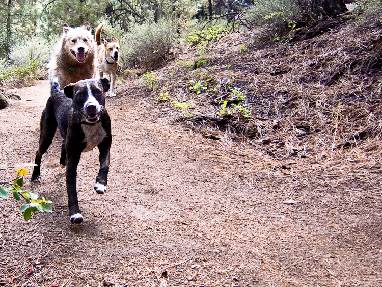 three dogs running down a trail at the camera