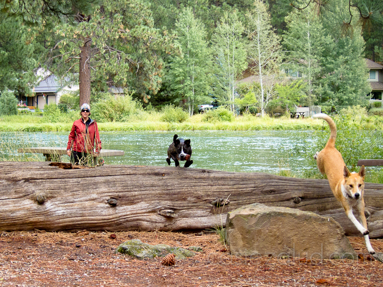 two dogs jumping over a log chasing a pine cone on the bank of the Deschutes River