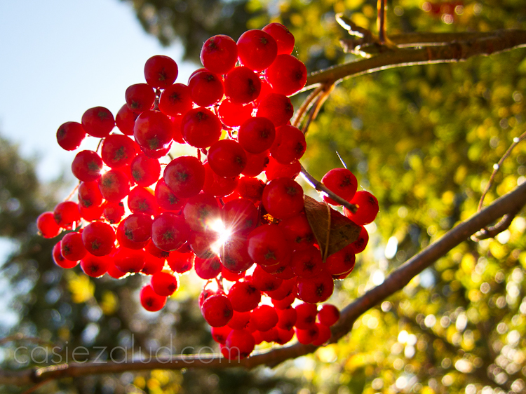 back lite mountain ash berries in the fall in color