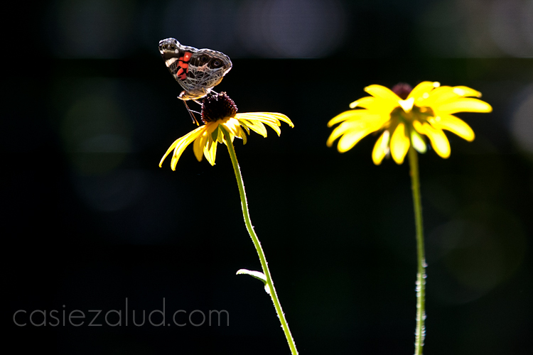 image of two black eyed susan flowers up close with a butter fly pollinating it
