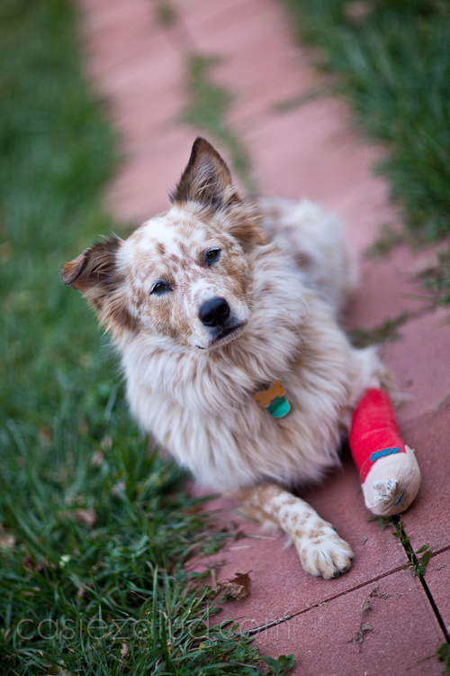 Australian Shepard/Cattle dog mix laying on a brick pathway with a cast on his front left paw
