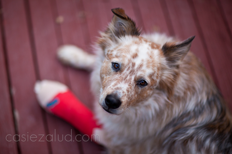 Australian Shepard/Cattle Dog mix looking directly into the camera with a red cast on his left front paw
