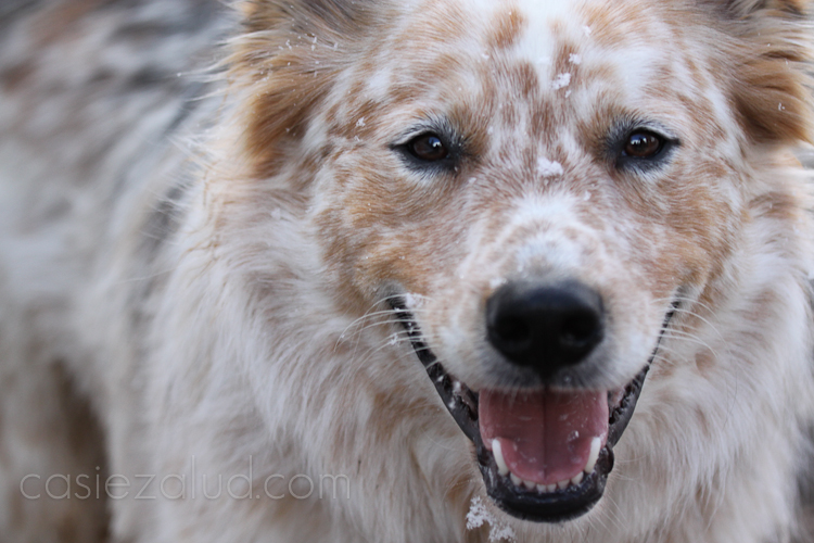 close up of am Australian Shepard/cattle dog mix with snow flakes on his face