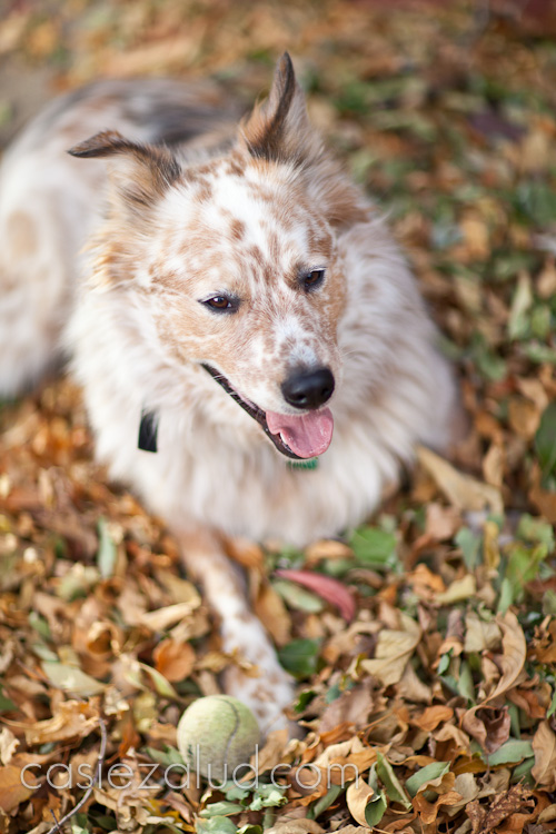 dog panting with a ball infront of him on a pile of leaves