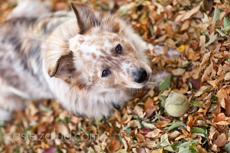 a dog lying down on  his chest in a leaf pile protecting his ball