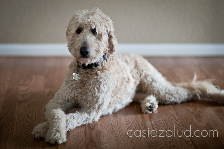 Dog Portraits: Female white Portuguese Water Dog sitting with her front paws crossed