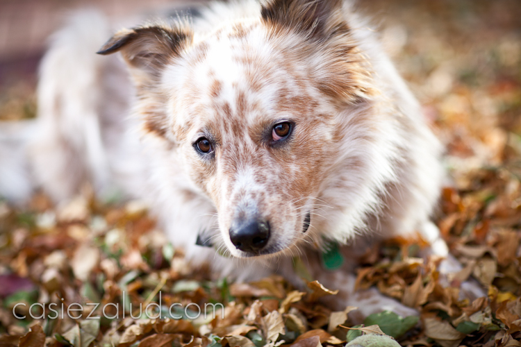close up of a herding dog's face and a leaf pile