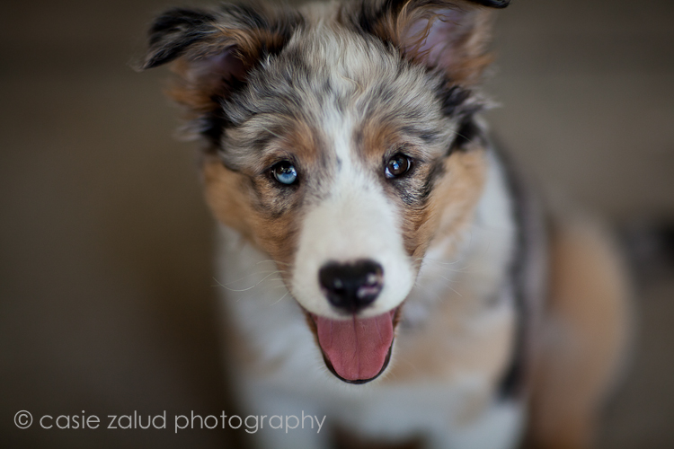 Boulder, CO Pet Photography, Australian Shepherd Dog Portrait