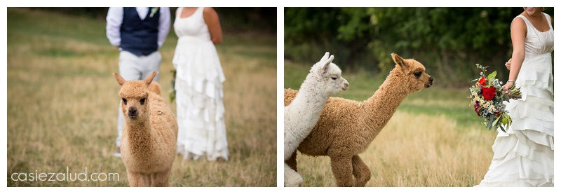 Bohemian wedding couple with alpacas at the lyons farmette