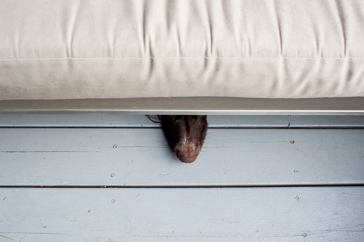 shot from above a dog's nose picking out from under a couch