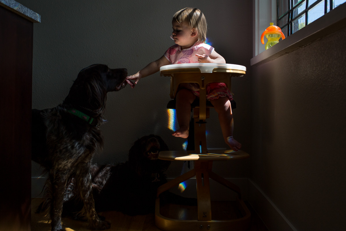 toddler in highchair in a streak of sunlight, leaning over the edge as a dog licks her hand