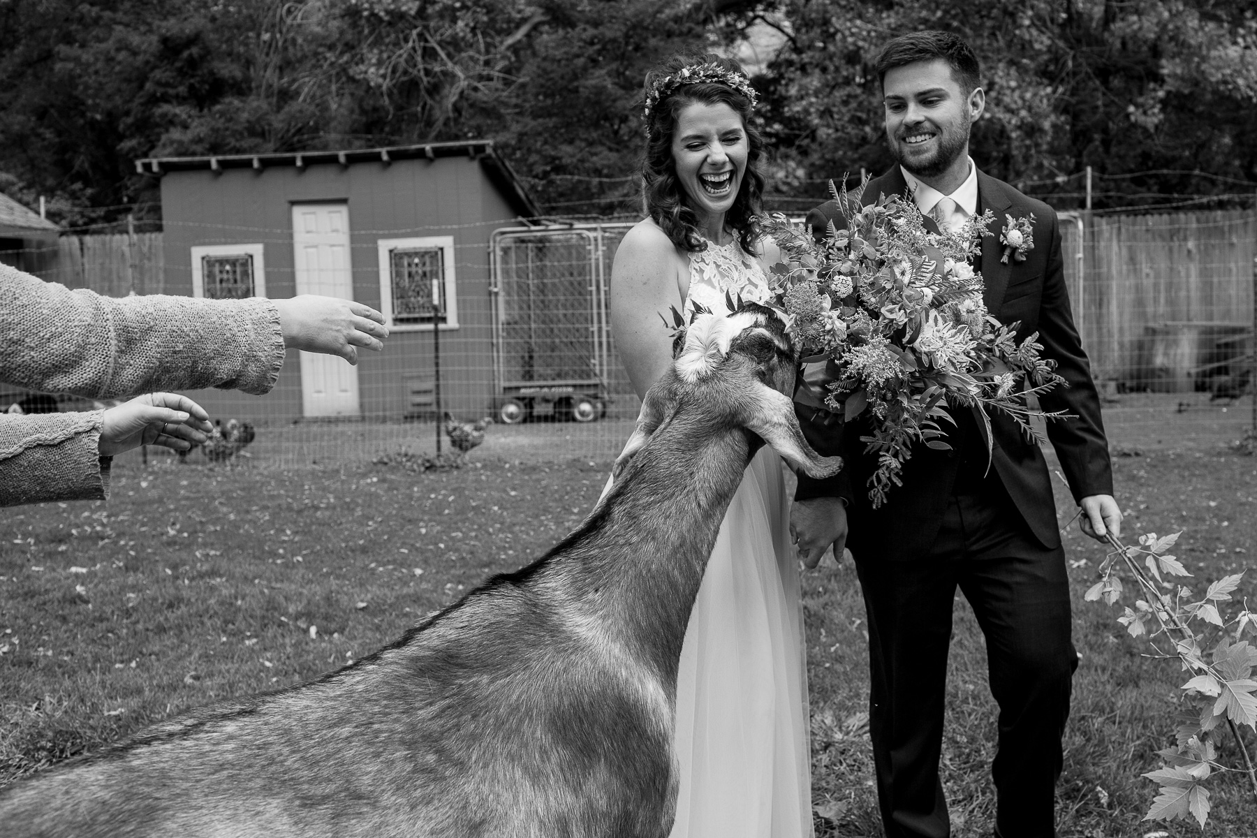 a goat trying to eat a brides bouquet as a pair of hands try to stop it