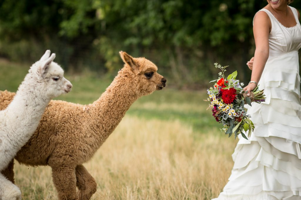 alpacas trying to eat a bridal boquet during a wedding at lyons park colorado