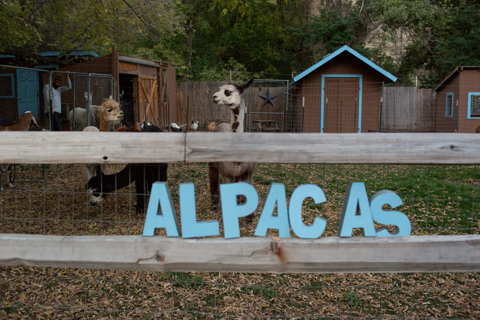 a color photo of alpacas in their pen at farm wedding with the sign alpacas
